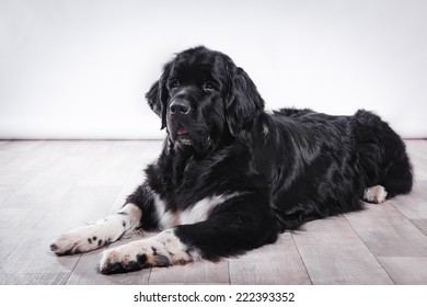 adult Newfoundland in studio by the fireplace