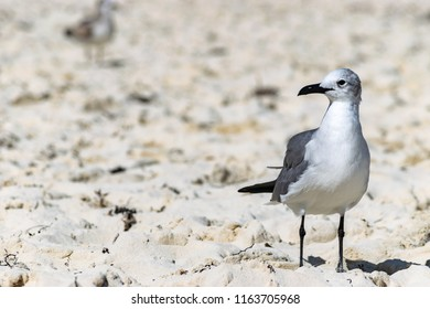 Adult non breeding Laughing Gull (Leucophaeus Atricilla) on a beach in the Bahamas. Black bill, white and grey plumage, dark primaries.