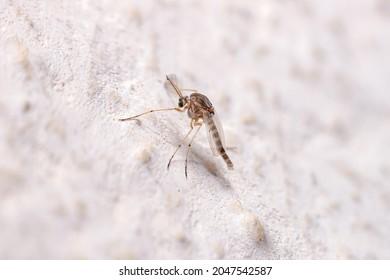 Adult Non-biting Midge of the Family Chironomidae