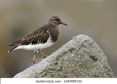 Adult non-breeding Black Turnstone (Arenaria melanocephala) standing on top of rock along the rocky coast of Los Angeles County in California, United States.