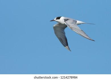 Adult non-breeding Common Tern (Sterna hirundo) in flightGalveston Co., TXApril 2017