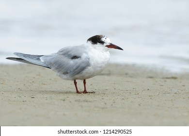 Adult non-breeding  Common Tern (Sterna hirundo) standing on the beach at Galveston Co., Texas, USA in April 2016.