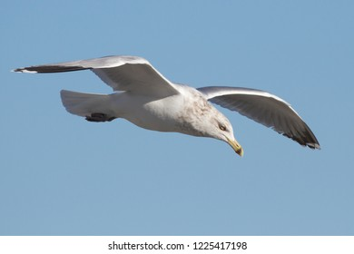 An adult non-breeding Herring Gull hovering over the beach at Ocean City, Maryland