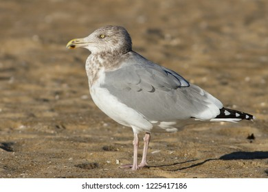 An adult non-breeding Herring Gull standing on the beach at Ocean City, Maryland