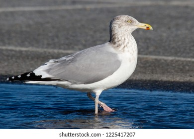 An adult non-breeding Herring Gull standing in a rainwater puddle at the Ocean City Inlet, Maryland