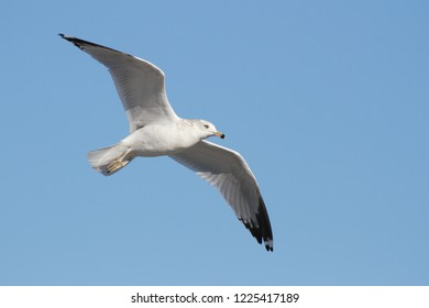 An adult non-breeding Ring-billed Gull flying along the beach at Ocean City, Maryland
