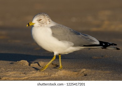 An adult non-breeding Ring-billed Gull walking on the beach at Ocean City, Maryland