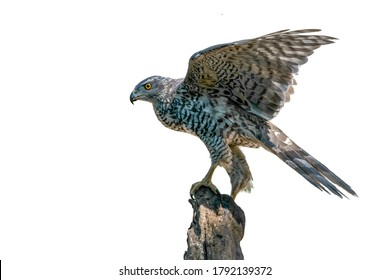 Adult of Northern Goshawk (Accipiter gentilis) on a branch in the forest of Noord Brabant in the Netherlands. White high key background with copy space.