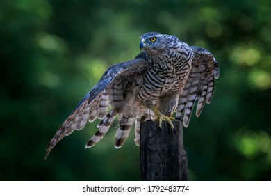 Adult of Northern Goshawk (Accipiter gentilis) on a branch in the forest of Noord Brabant in the Netherlands. Green bokeh background.