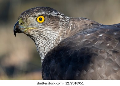 Adult Northern Goshawk close-up. Accipiter gentilis. Spain