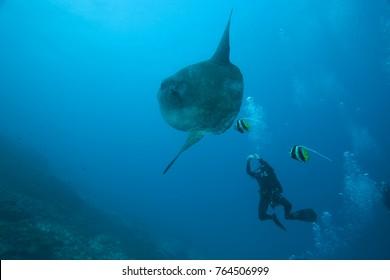 Adult Ocean Sunfish (Mola mola) heaviest bony fish in the world, Nusa Penida, Bali, Indonesia