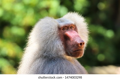Adult old baboon monkey (Pavian, Papio hamadryas) close face expression observing staring vigilant looking at camera with green bokeh background out focus. Hairy adult baboon with silver grey hair.