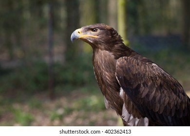 An adult, old, healthy golden eagle resting / relaxing on his huge perch during lovely spring / summer time; looking strict and happy (focus on head) Aquila chrysaetos