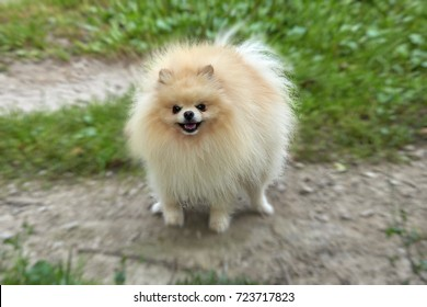 Adult Orange Pomeranian Spitz on the walk
