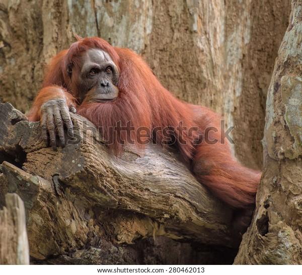 Adult orangutan monkey lying deep in thoughts on a tree trunk