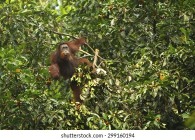 A adult Orangutan up in a tree (Pongo pygmaeus)