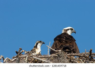 Adult Osprey in nest with fledglings, Pandion Haliaeetus, eye color difference between adult and fledgling, Flamingo, Everglades NP, Florida, USA