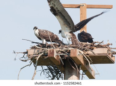 Adult osprey and two immature ospreys in nest on wooden platform