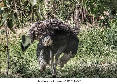 An Adult Ostrich in Lucknow Zoo