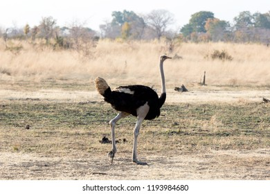 Adult Ostrich walking in the Kalahari, Botswana