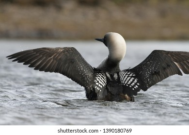 Adult Pacific Loon or Pacific Diver (Gavia pacifica), breeding plumage, spreading wings on water, near Arviat Nunavut, Canada