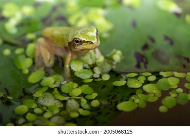 An adult Pacific Tree Frog sitting on a Lilypad. It breathes with lungs and has no tail. In an aquarium.