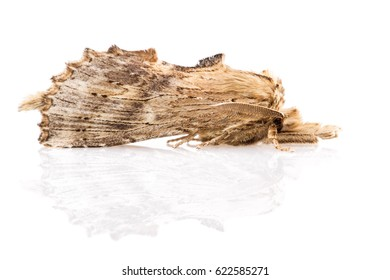 Adult of the Pale Prominent (Pterostoma palpina) isolated on white