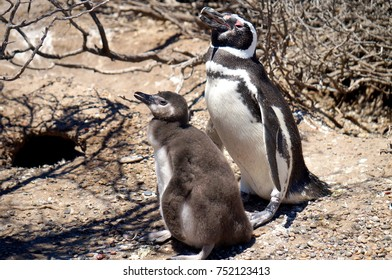Adult penguin and chick at Punta Tombo near Trelew