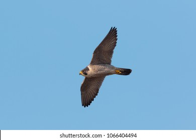 An adult Peregrine Falcon, Falco peregrinus. Adult in flight against clear, blue sky. Dorset, UK.