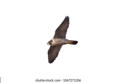 An adult Peregrine Falcon, Falco peregrinus bird of prey. Adult in flight cutout. Isolated against white background.