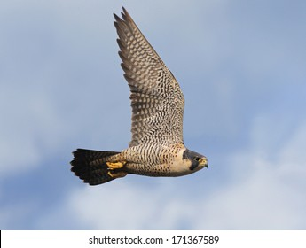 An adult peregrine falcon flashes by as it searches for its next meal