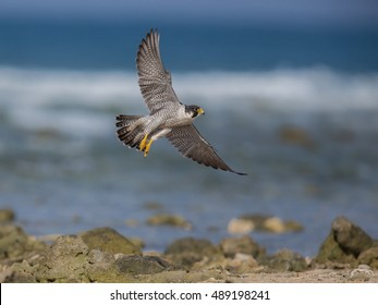 An adult Peregrine falcon flashes by as it searches for its next meal,Thailand