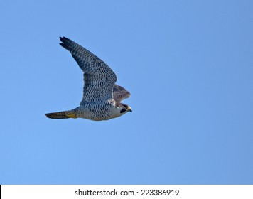 An adult peregrine falcon wings through the sunny blue sky.