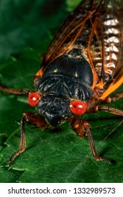 Adult periodic (17-year) cicada (Magicicada sp.). Nymphs of cicada remain underground for 17 years before emerging, metamorphosing to adults, mating, and dying.