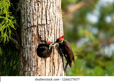 Adult pileated woodpecker Hylatomus pileatus feeds its chick