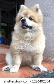 An adult pomerian dog is sitting in front of the house
