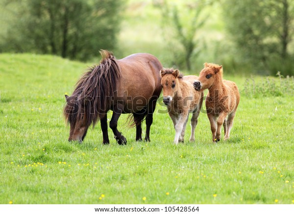 Adult pony with her two foals