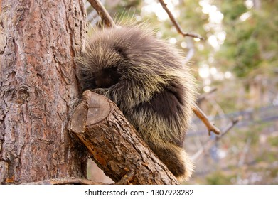 Adult porcupine sitting in tree in winter