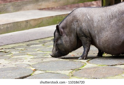 An adult potbelly pig