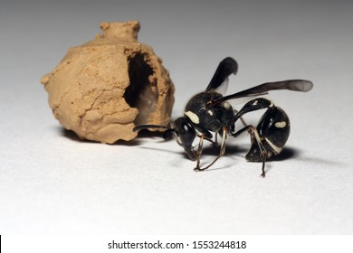 An adult potter wasp next to the clay nest that it just emerged from. This wasp developed as a larvae in the nest, feeding on dead insects that its mother left for it.
