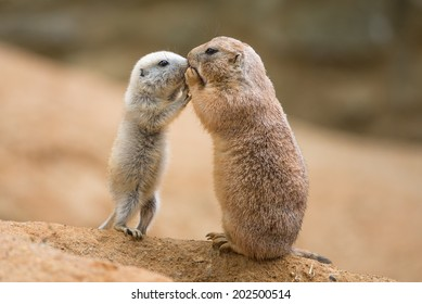 Adult prairie dog (genus cynomys)  and a baby  sharing their food