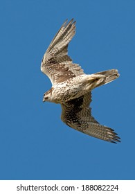 An adult prairie falcon dives through the blues sky as it stoops on its prey.