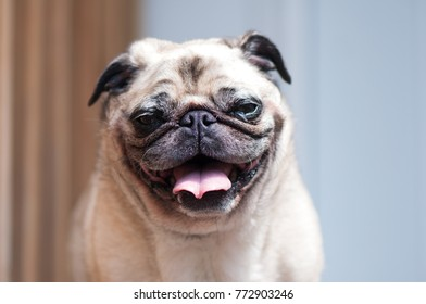 Adult pug portrait while looking at camera
