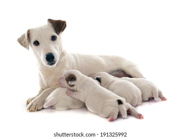 adult and puppies jack russel terrier in studio