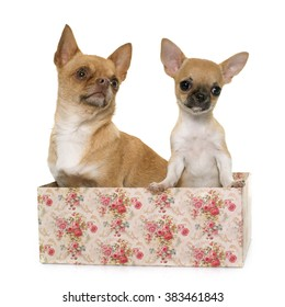 adult and puppy shorthair chihuahua in front of white background