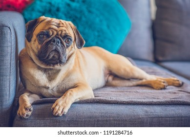 Adult Purebred Pug Lying Down on Grey Couch Looking at Camera