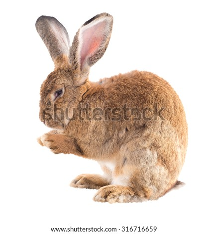 Adult Rabbit Standing On Hind Legs Stock Photo Edit Now 316716659