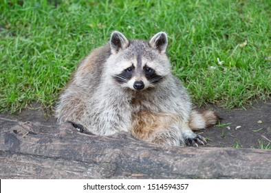 Adult racoon resting behind a big log