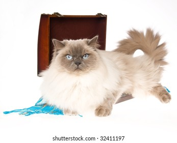 Adult Ragdoll cat in brown suitcase, on white background