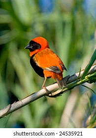 Adult Red Bishop male in full breeding color and plumage